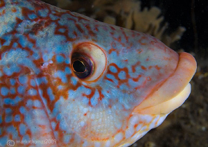 Ballan Wrasse.